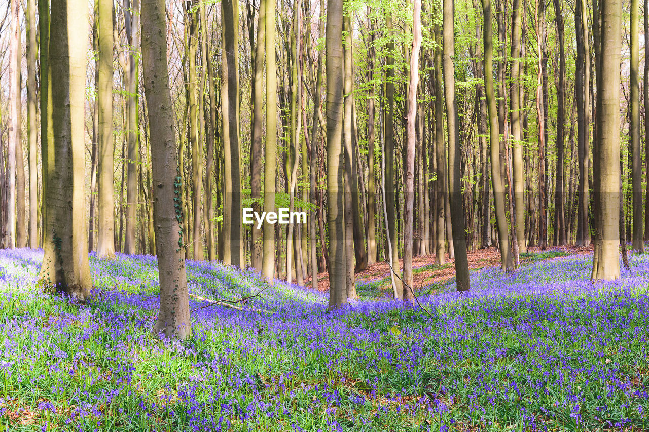 nature, beauty in nature, growth, purple, tree trunk, forest, outdoors, flower, scenics, tranquil scene, tranquility, no people, tree, landscape, woodland, plant, green color, day, grass, travel destinations, flowerbed, freshness