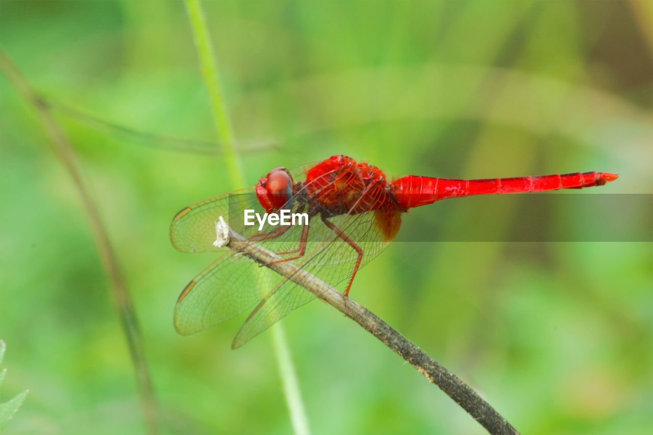 invertebrate, insect, animal wildlife, animal themes, animals in the wild, animal, red, one animal, close-up, focus on foreground, plant, day, nature, no people, green color, animal wing, zoology, dragonfly, outdoors, animal body part, animal eye