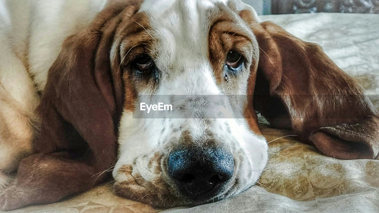 dog, pets, one animal, looking at camera, domestic animals, portrait, mammal, animal themes, close-up, indoors, no people, relaxation, day, beagle