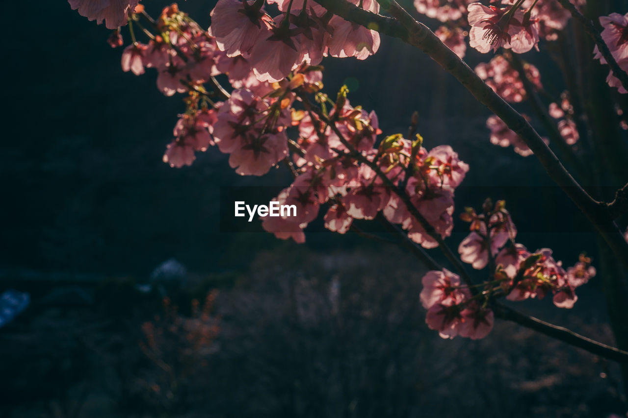 flower, flowering plant, growth, plant, fragility, beauty in nature, freshness, vulnerability, tree, nature, blossom, petal, focus on foreground, close-up, branch, springtime, no people, pink color, outdoors, cherry blossom, flower head, cherry tree, spring