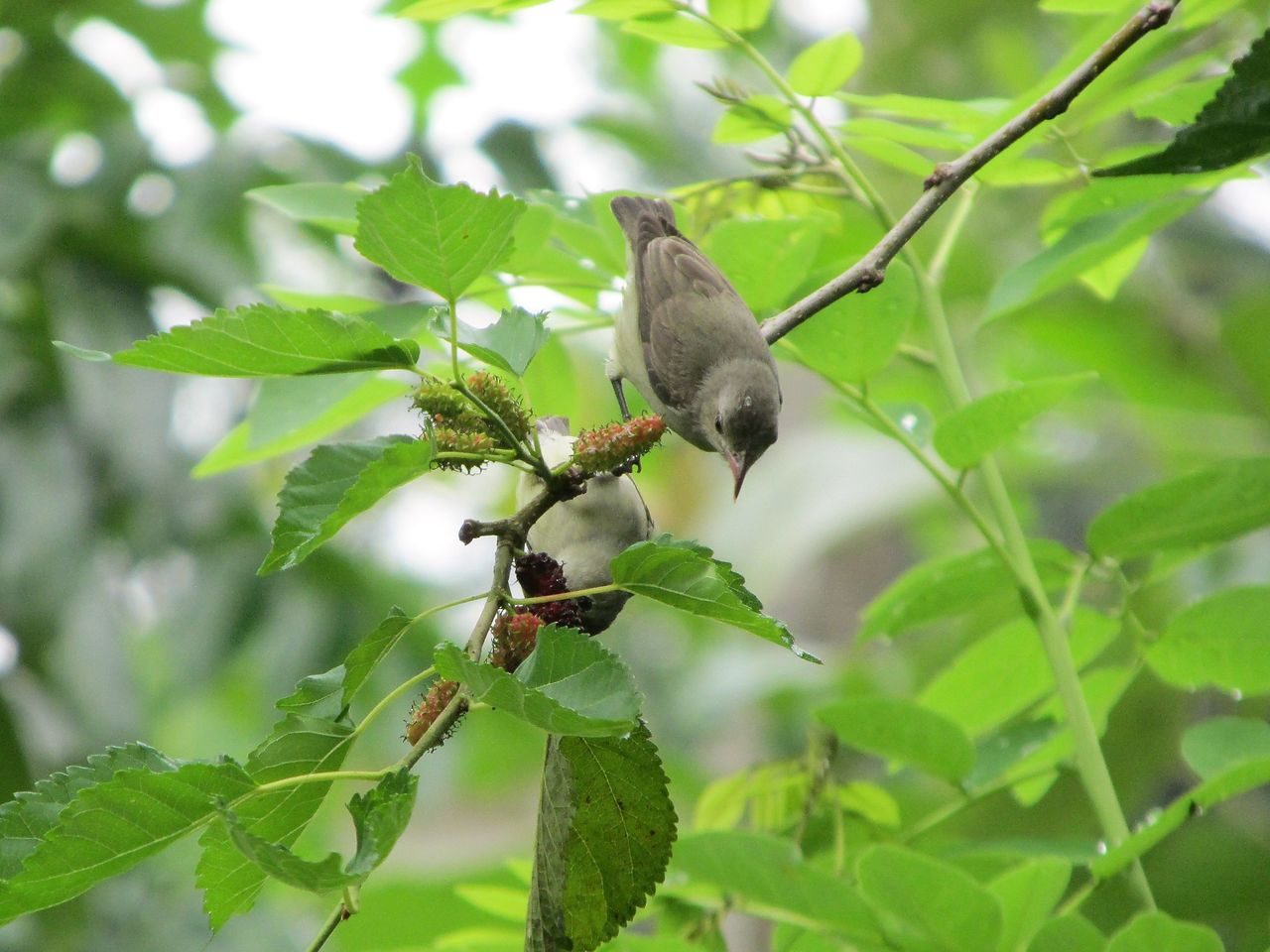 animal themes, leaf, animals in the wild, one animal, green color, bird, animal wildlife, growth, nature, no people, perching, focus on foreground, outdoors, day, branch, tree, sparrow, beauty in nature, close-up