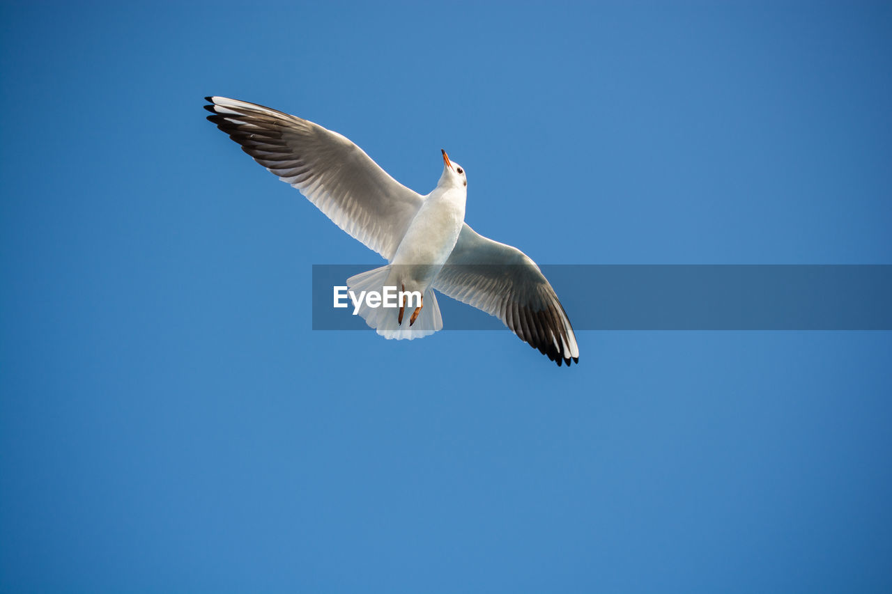flying, animals in the wild, spread wings, animal wildlife, vertebrate, bird, animal themes, animal, low angle view, one animal, sky, clear sky, blue, copy space, seagull, white color, no people, mid-air, motion, day