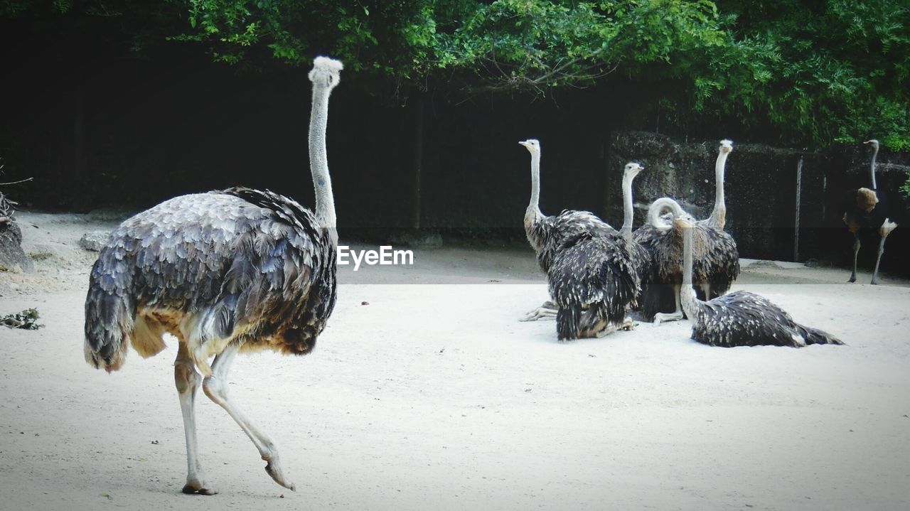 animal, animal themes, vertebrate, group of animals, animals in the wild, animal wildlife, nature, bird, land, tree, field, ostrich, plant, mammal, no people, day, outdoors, cold temperature, zoology, herbivorous