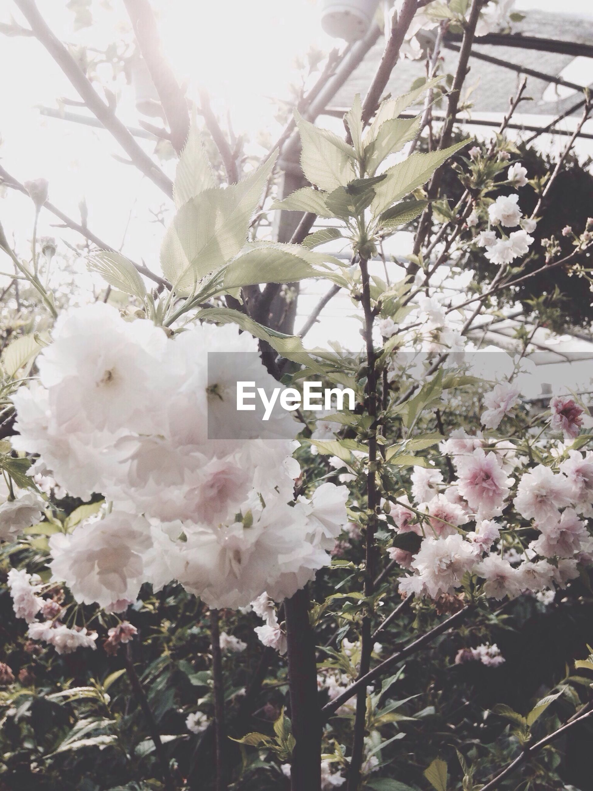 flower, freshness, fragility, growth, beauty in nature, petal, cherry blossom, blossom, tree, white color, branch, nature, in bloom, blooming, cherry tree, flower head, springtime, fruit tree, pink color, close-up