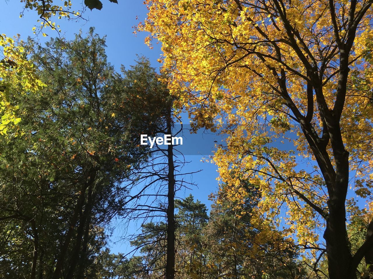 tree, growth, nature, low angle view, autumn, no people, beauty in nature, day, branch, tranquility, tree trunk, outdoors, forest, sky, clear sky