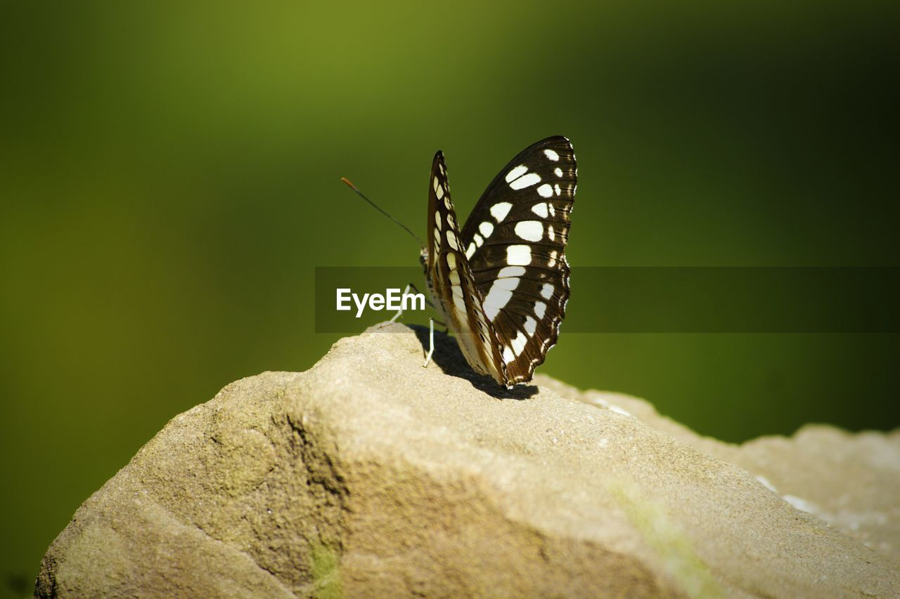 invertebrate, insect, animals in the wild, animal wildlife, animal themes, animal, one animal, animal wing, butterfly - insect, beauty in nature, close-up, nature, no people, day, selective focus, focus on foreground, leaf, animal markings, outdoors, plant part, butterfly
