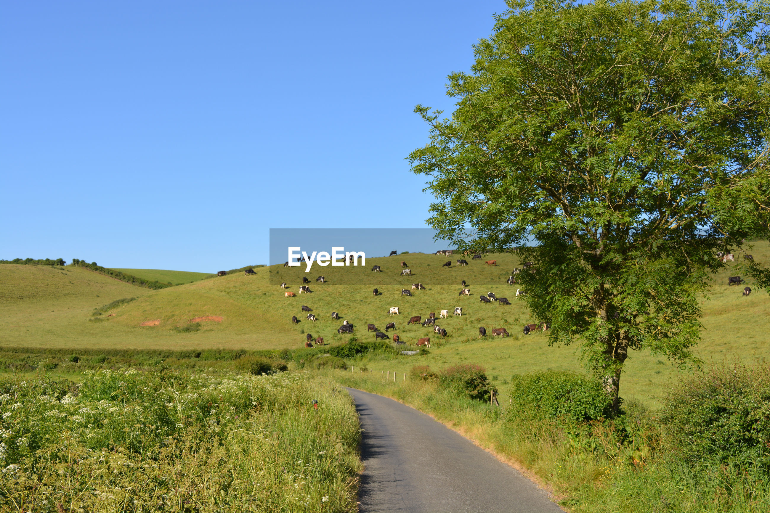 Narrow lane through green fields with cows on hillside and ash tree at roadside, dorset, england