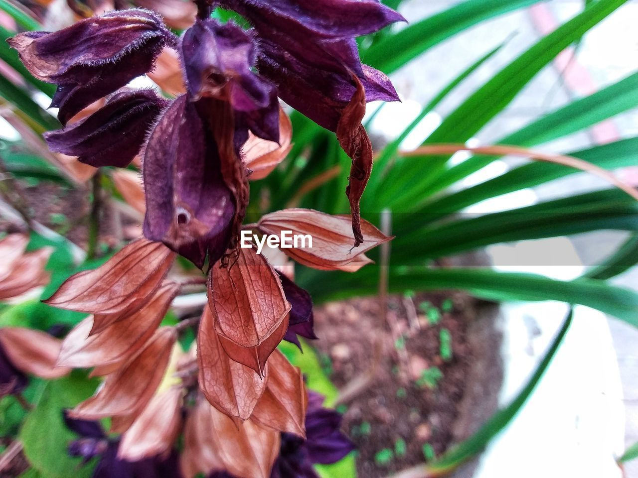 plant, growth, beauty in nature, close-up, flowering plant, plant part, flower, fragility, vulnerability, leaf, nature, no people, freshness, petal, day, focus on foreground, flower head, inflorescence, selective focus, botany, outdoors, purple, maroon, wilted plant