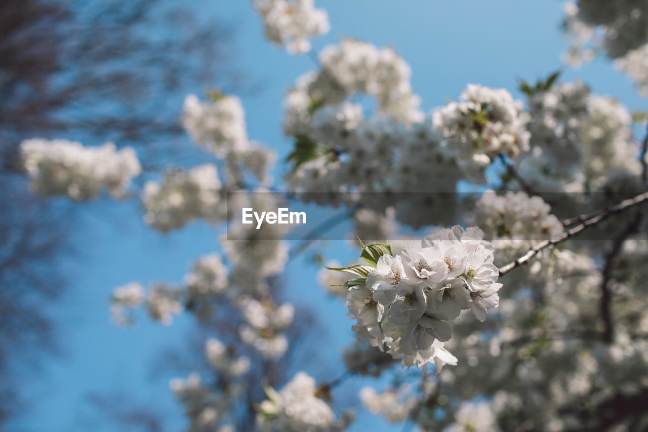 flower, flowering plant, fragility, plant, growth, vulnerability, beauty in nature, freshness, focus on foreground, blossom, white color, tree, springtime, day, petal, nature, close-up, cherry blossom, flower head, no people, outdoors, cherry tree, pollen, softness