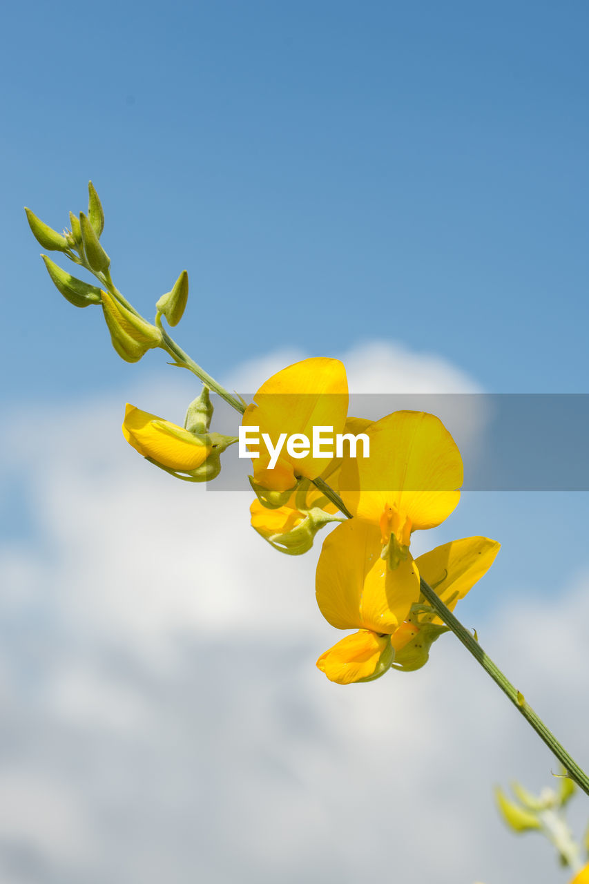 yellow, flower, nature, growth, beauty in nature, fragility, plant, no people, outdoors, day, freshness, low angle view, petal, close-up, sky