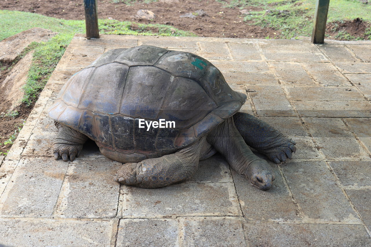 turtle, animal themes, reptile, animal, vertebrate, day, animal wildlife, tortoise, animals in the wild, no people, one animal, outdoors, high angle view, nature, footpath, animals in captivity, close-up, field, zoo, focus on foreground