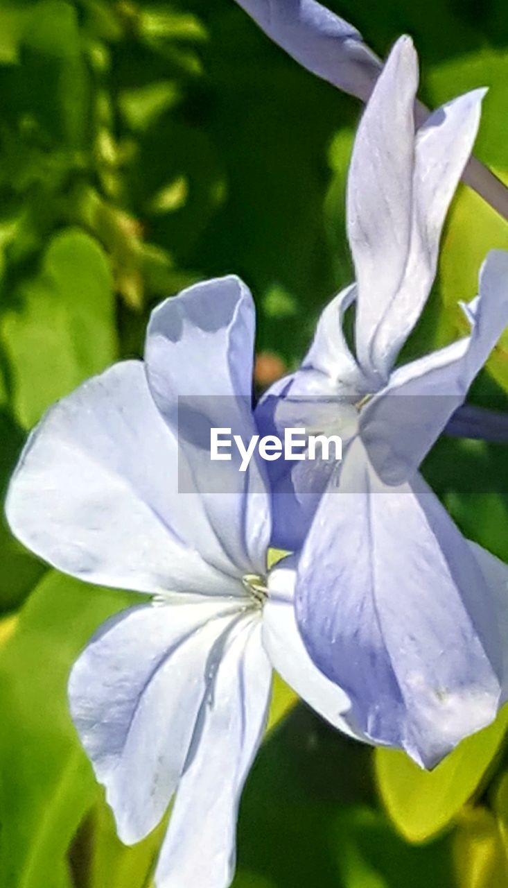 flower, flowering plant, freshness, plant, close-up, beauty in nature, petal, growth, vulnerability, fragility, inflorescence, flower head, nature, day, no people, outdoors, white color, leaf, focus on foreground, pollen, purple, iris - plant