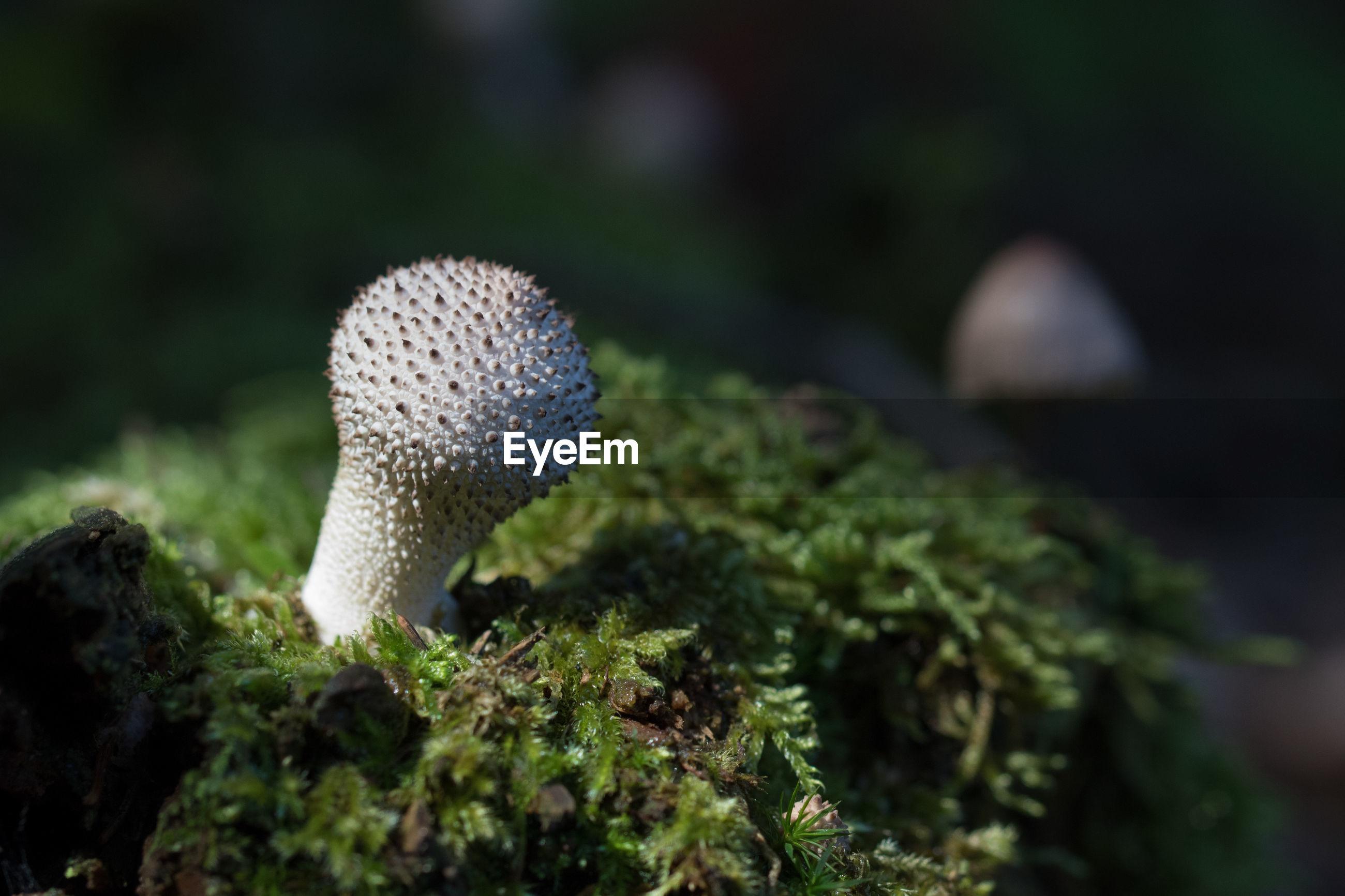 CLOSE-UP OF MUSHROOM GROWING ON PLANT