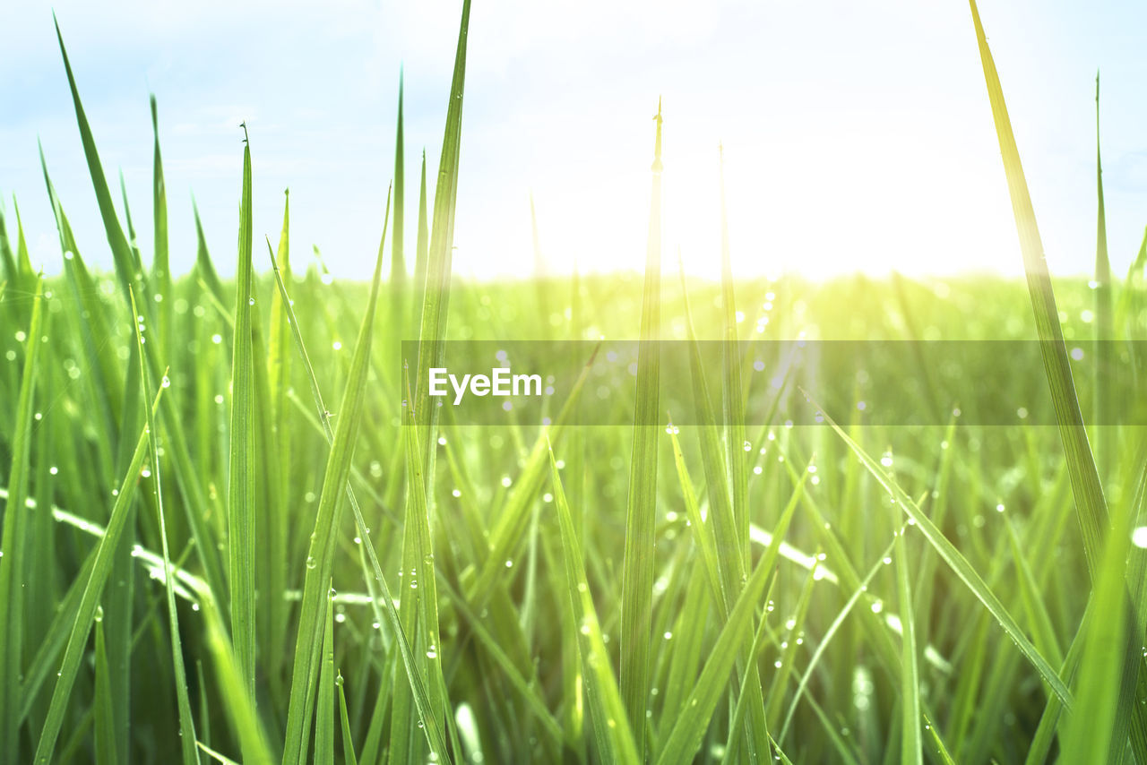 grass, growth, field, nature, green color, tranquility, day, no people, beauty in nature, outdoors, sky, close-up, plant, freshness, ear of wheat, landscape, wheat, cereal plant, clear sky