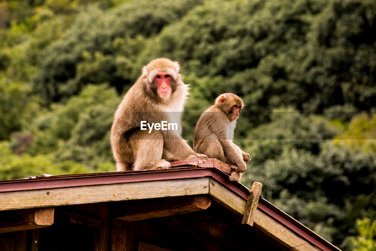 Monkeys Sitting On Roof Outdoors