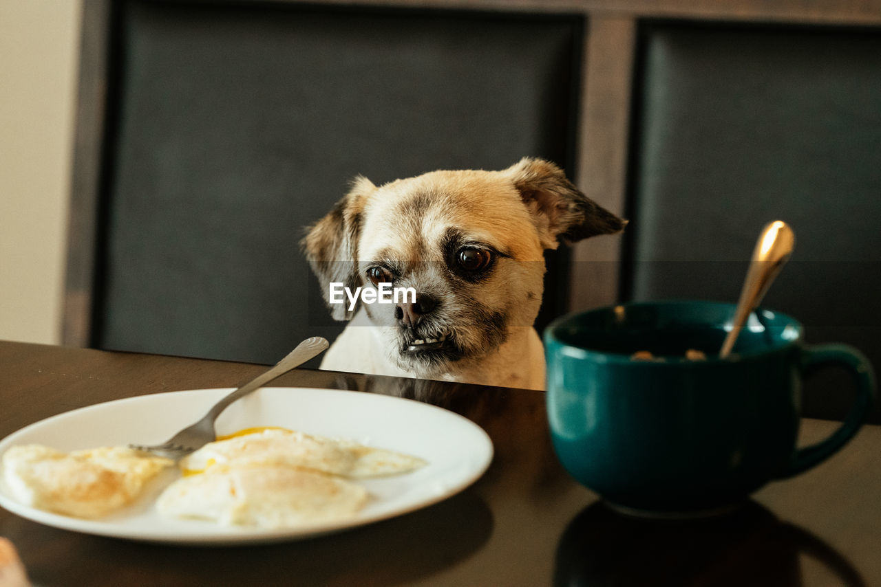 animal, animal themes, domestic animals, one animal, food and drink, indoors, domestic, pets, mammal, canine, dog, food, plate, table, no people, kitchen utensil, eating utensil, vertebrate, portrait, focus on foreground, small, breakfast