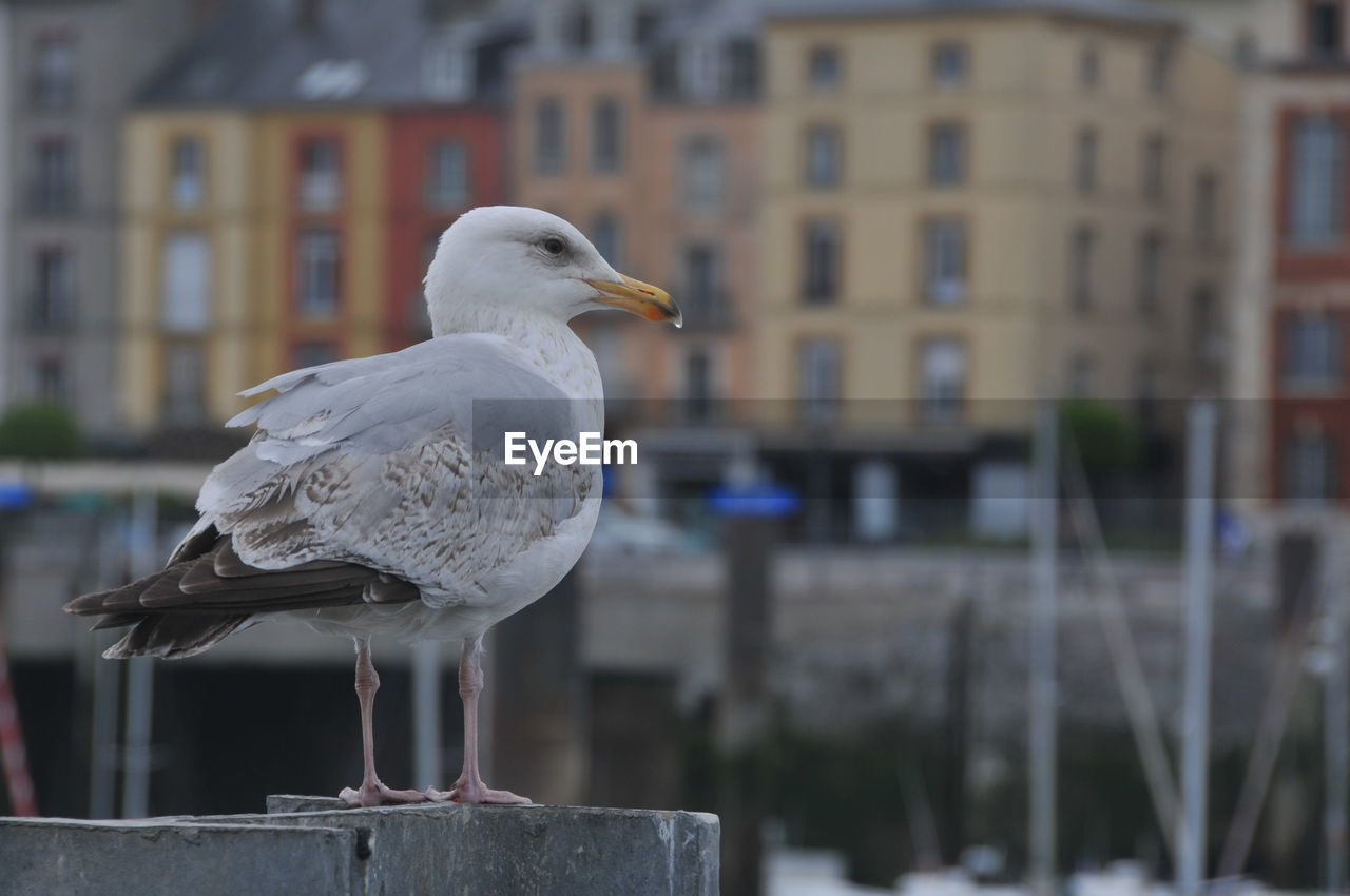 bird, animal themes, vertebrate, animal, animals in the wild, one animal, seagull, focus on foreground, animal wildlife, perching, architecture, building exterior, built structure, no people, day, sea bird, close-up, white color, nature, railing, beak, outdoors, wooden post