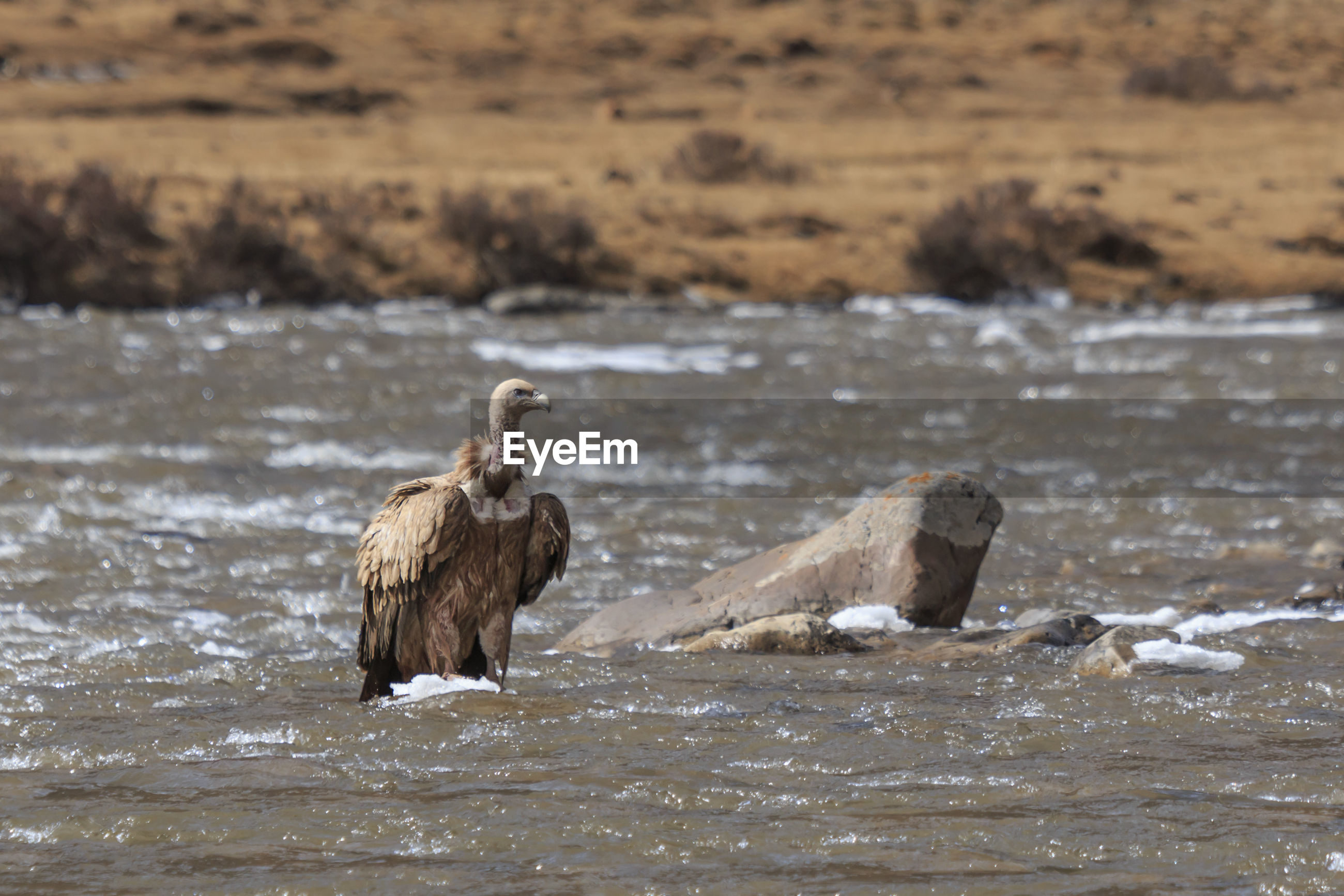 Vulture in lake