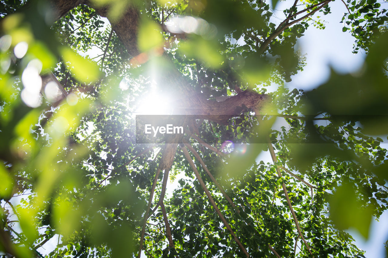 tree, plant, sunlight, growth, low angle view, lens flare, beauty in nature, day, green color, sky, branch, nature, sun, no people, sunbeam, sunny, tranquility, streaming, plant part, outdoors, bright, brightly lit, tree canopy, solar flare
