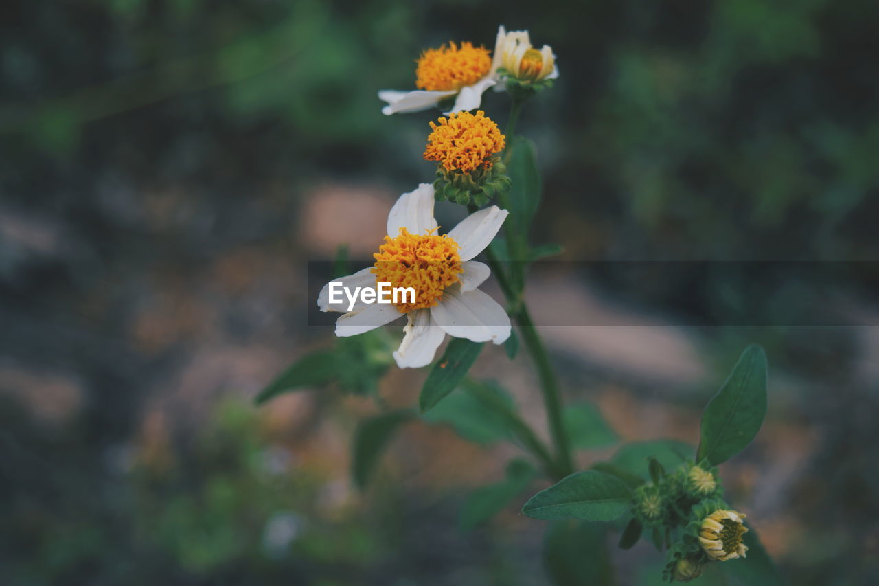 flowering plant, flower, vulnerability, fragility, freshness, plant, growth, petal, beauty in nature, inflorescence, flower head, close-up, focus on foreground, nature, day, leaf, plant part, no people, botany, white color, outdoors, pollen