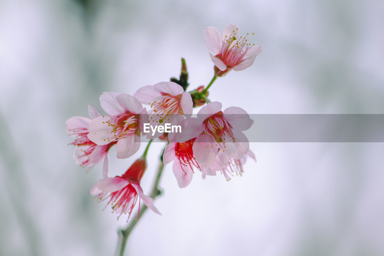 flower, flowering plant, fragility, beauty in nature, vulnerability, plant, freshness, growth, petal, close-up, pink color, inflorescence, flower head, nature, no people, day, blossom, tree, selective focus, pollen, springtime, outdoors, cherry blossom, cherry tree
