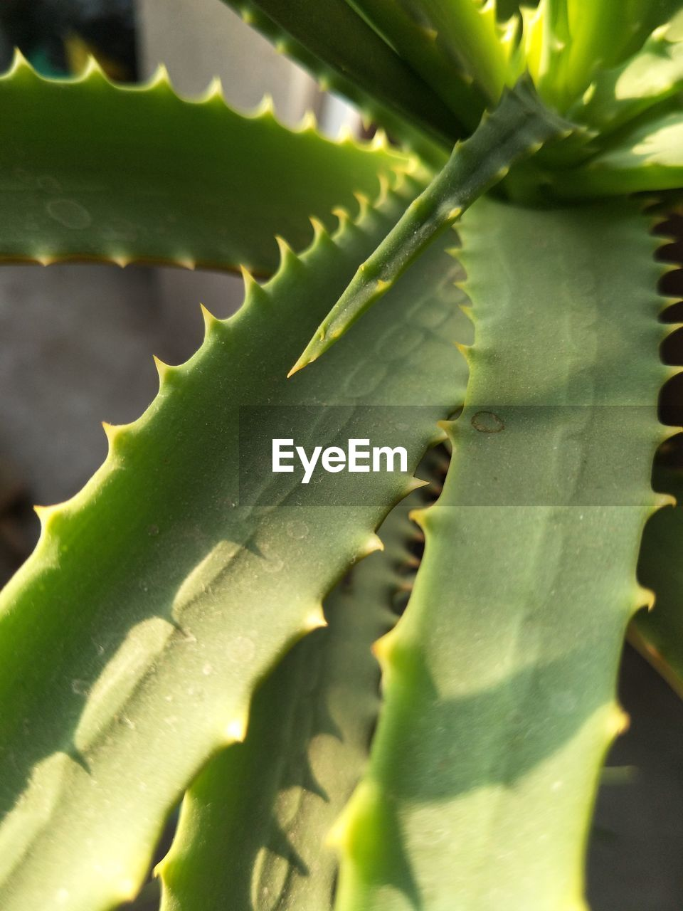 green color, aloe vera plant, growth, aloe, leaf, close-up, thorn, healthcare and medicine, plant, nature, no people, day, herbal medicine, outdoors, beauty in nature