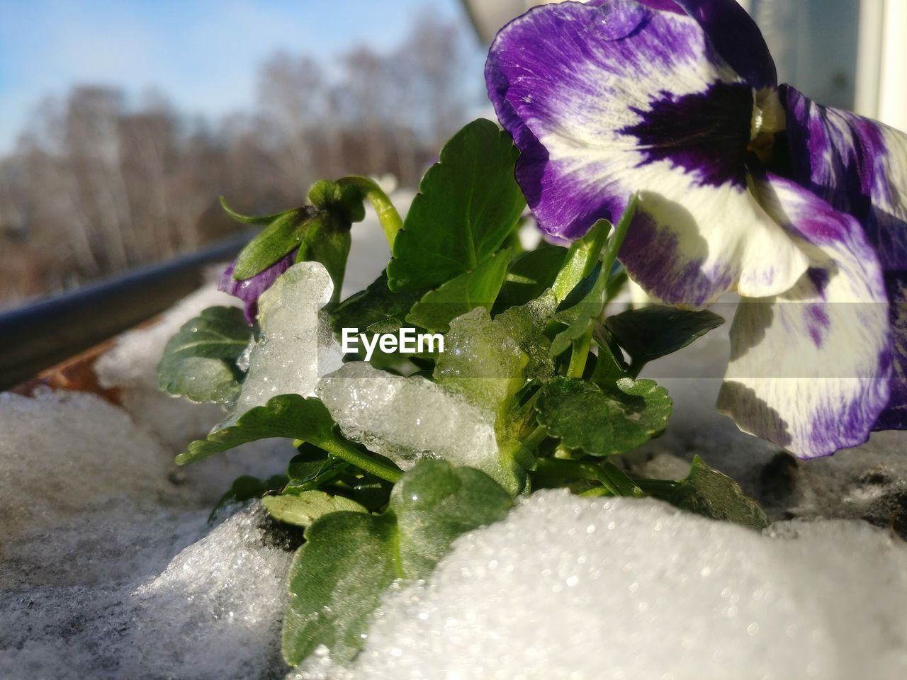 freshness, flower, close-up, leaf, no people, fragility, beauty in nature, nature, food and drink, purple, petal, green color, day, flower head, cold temperature, water, outdoors, food