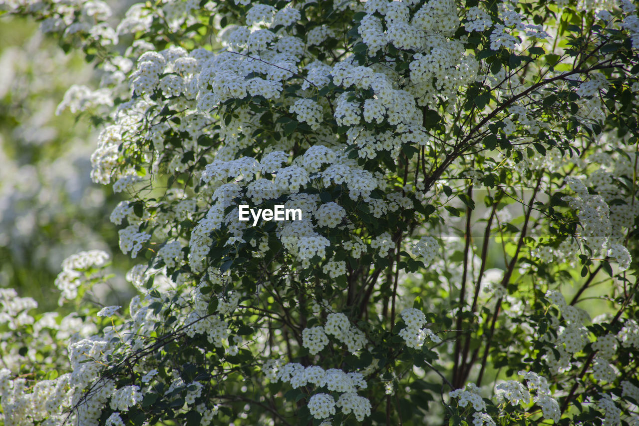 plant, growth, beauty in nature, nature, tree, day, freshness, focus on foreground, flowering plant, no people, plant part, flower, leaf, outdoors, white color, green color, close-up, branch, sunlight, selective focus, springtime, lilac