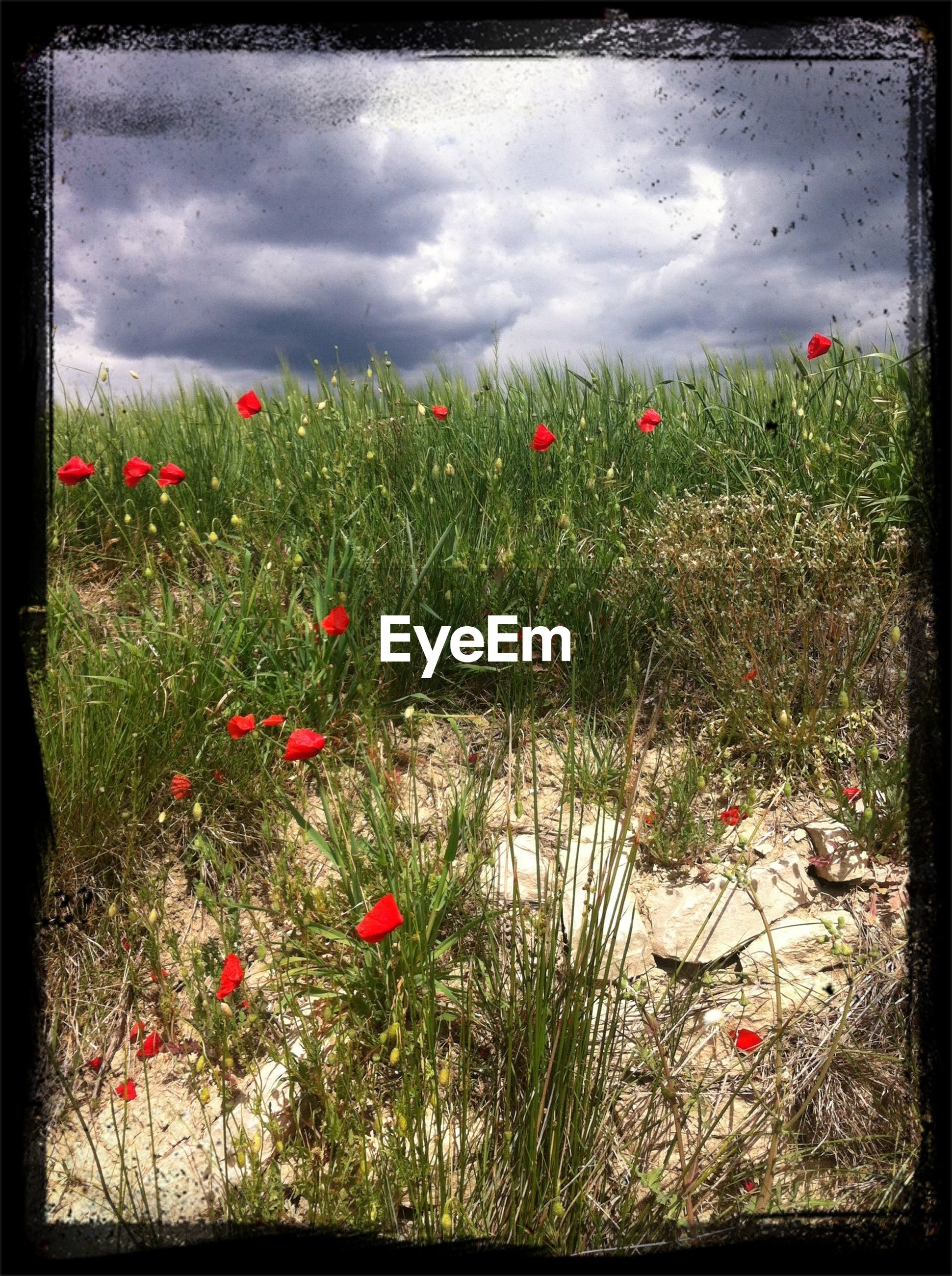 flower, transfer print, growth, sky, plant, field, auto post production filter, cloud - sky, freshness, red, grass, beauty in nature, nature, cloudy, fragility, poppy, tranquility, landscape, blooming, day