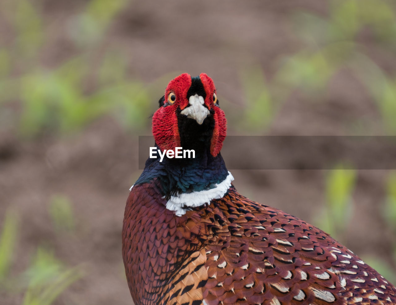 one animal, animal themes, focus on foreground, bird, red, animals in the wild, day, no people, animal wildlife, nature, rooster, cockerel, outdoors, domestic animals, close-up, mammal