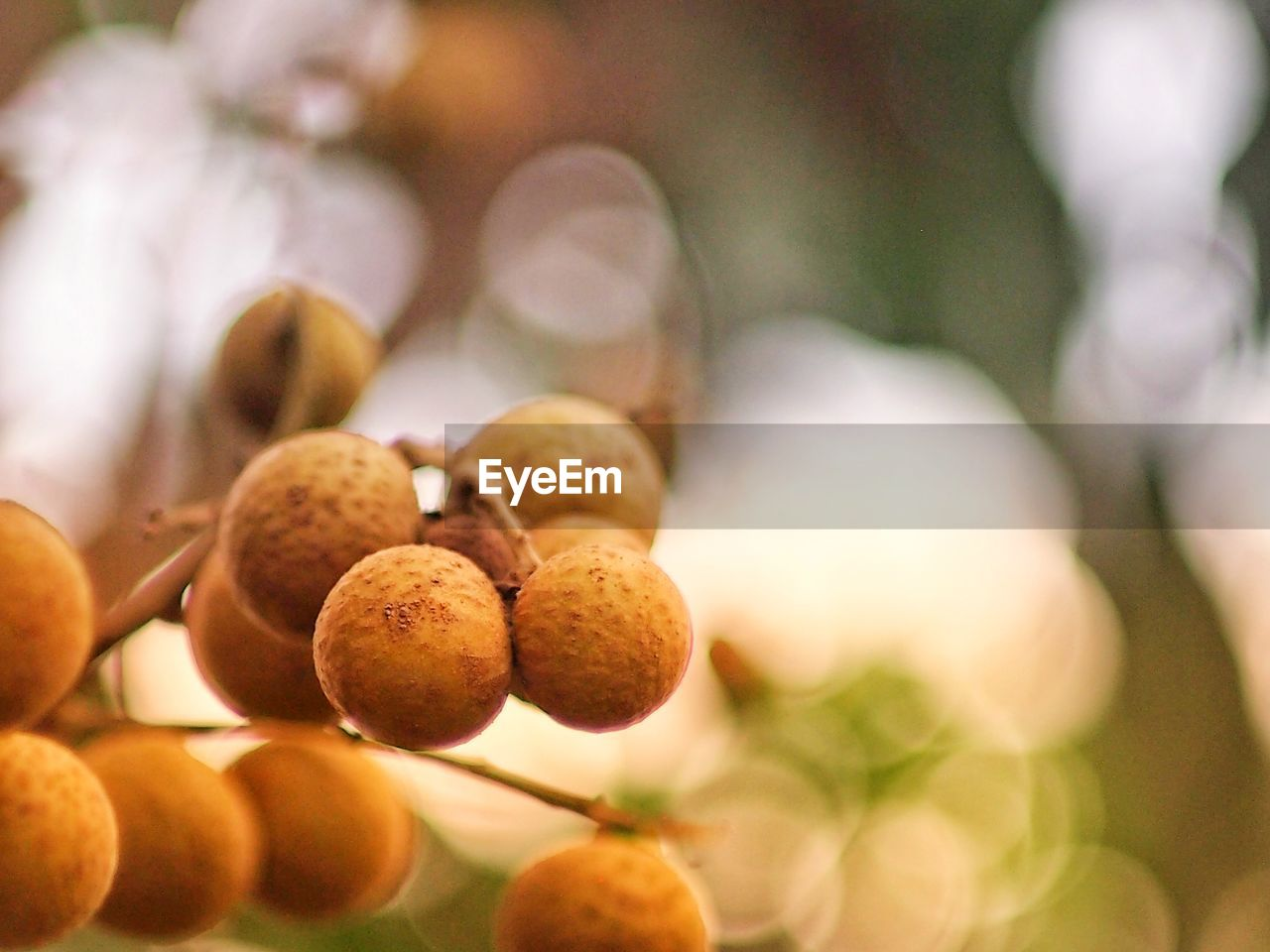 close-up, fruit, freshness, food and drink, healthy eating, food, focus on foreground, no people, selective focus, growth, wellbeing, plant, day, tree, outdoors, nature, ripe, orange color, group, agriculture, lychee
