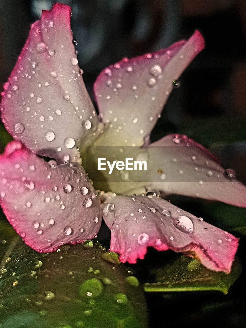 drop, water, wet, nature, close-up, petal, growth, raindrop, freshness, fragility, leaf, no people, flower head, flower, beauty in nature, plant, outdoors, pink color, day, day lily, periwinkle