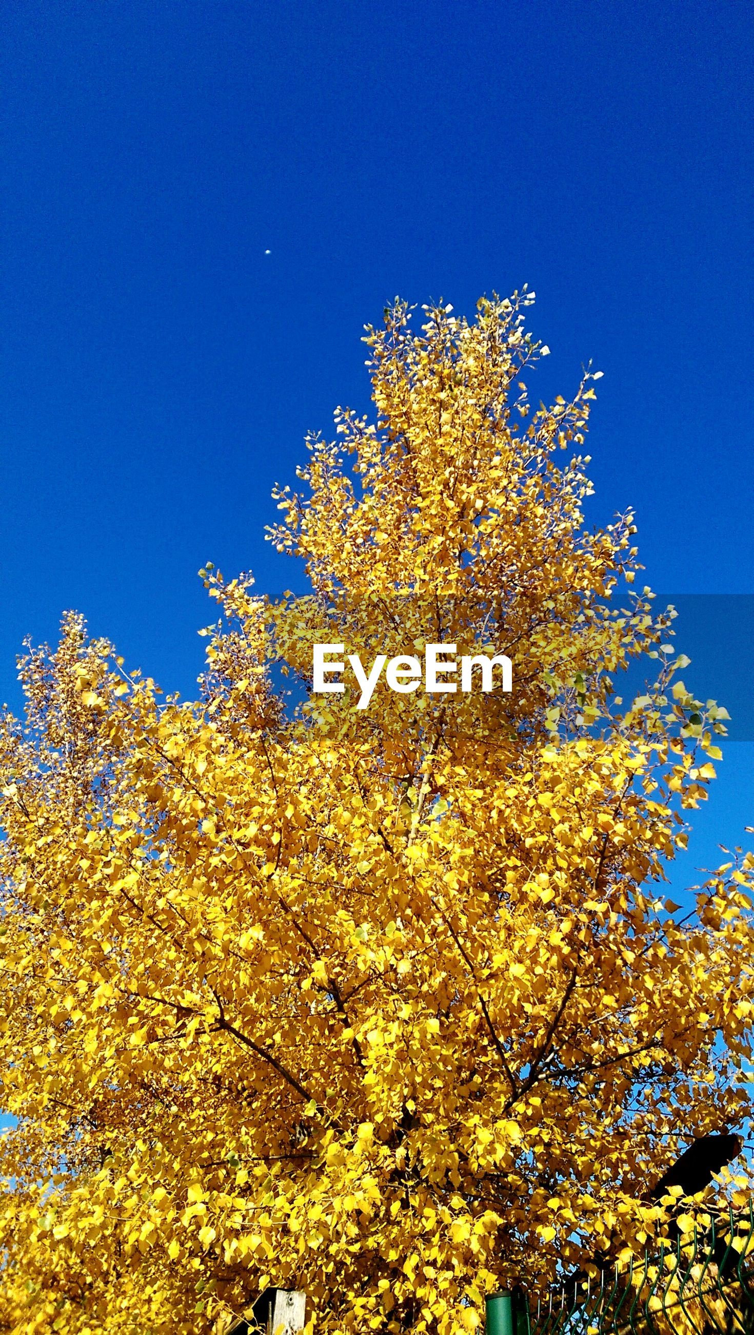 Low angle view of tree growing against clear blue sky during autumn