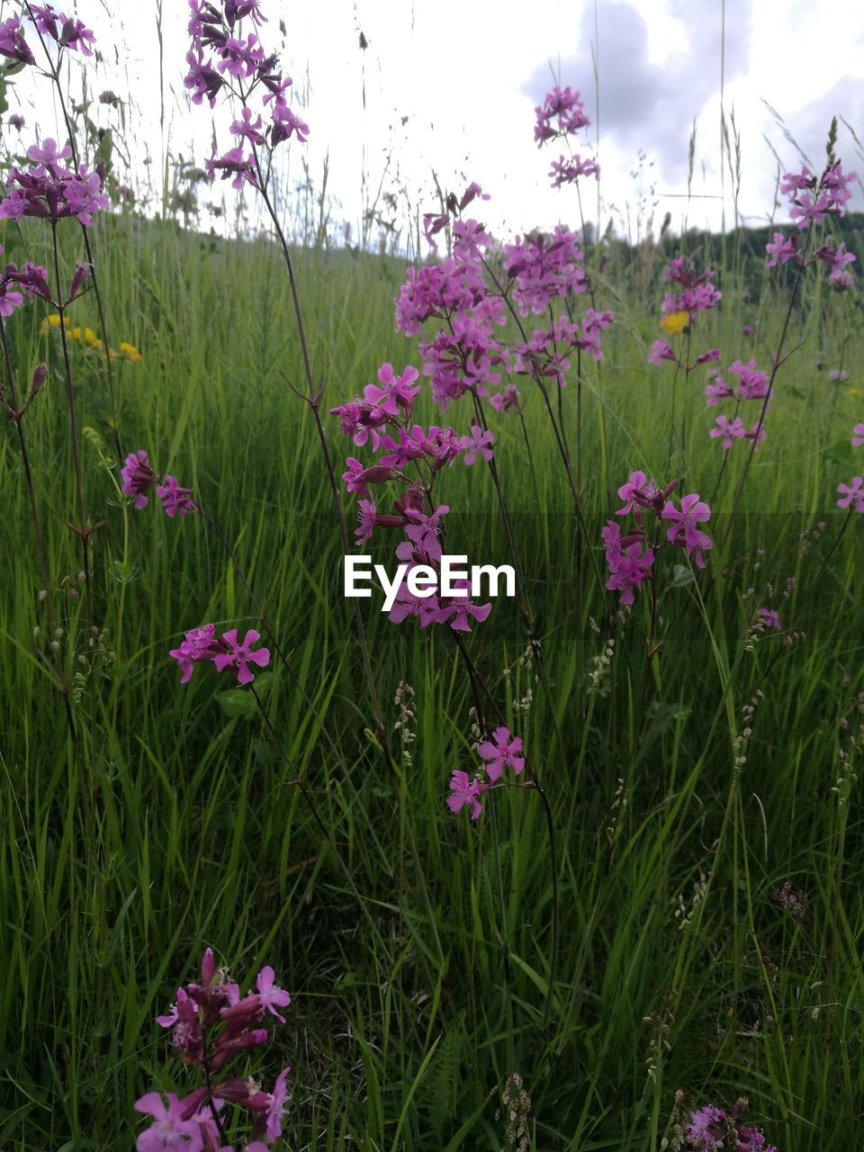 flower, flowering plant, plant, beauty in nature, freshness, growth, land, pink color, vulnerability, fragility, nature, field, no people, close-up, sky, day, petal, green color, tranquility, outdoors, purple, flower head, flowerbed