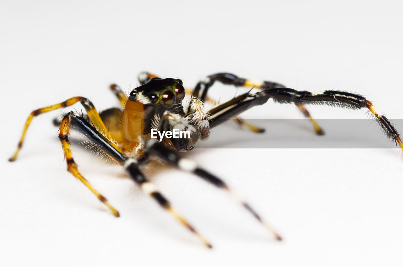 animal themes, spider, animals in the wild, one animal, animal wildlife, jumping spider, no people, close-up, white background, day, outdoors
