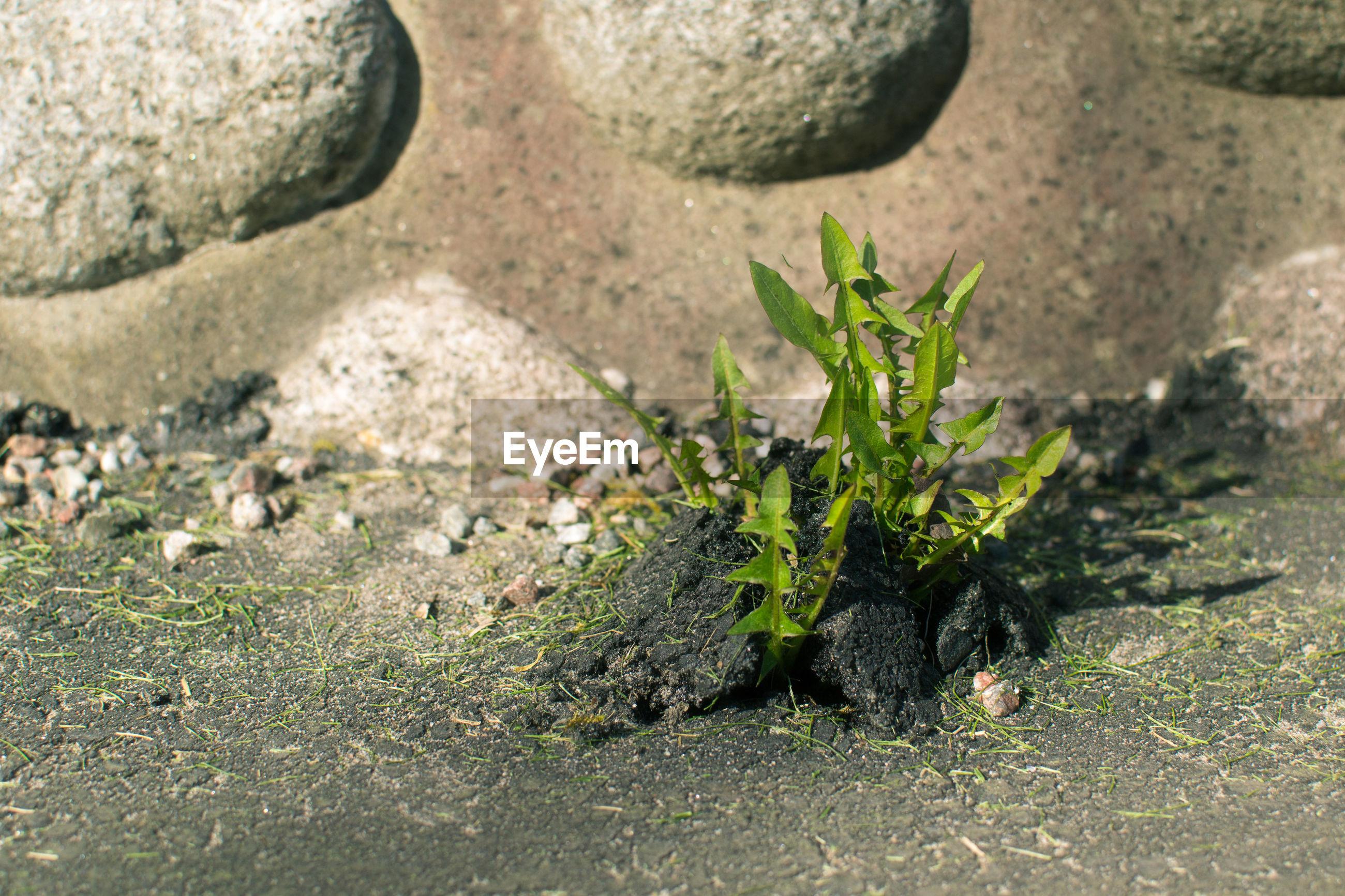 Close-up of plant growing on asphalt