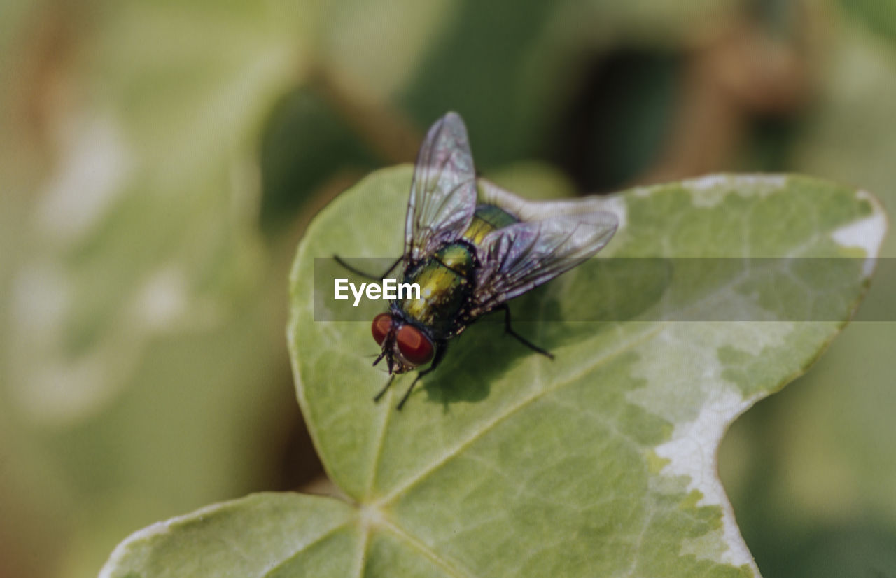 invertebrate, insect, animal wildlife, plant part, animal, animals in the wild, animal themes, leaf, one animal, close-up, animal wing, green color, focus on foreground, nature, no people, day, fly, plant, housefly, growth