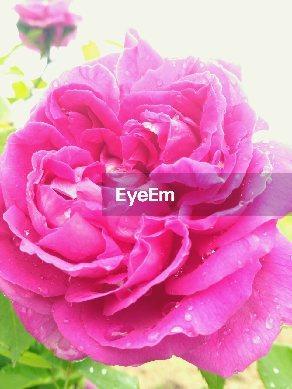 flower, petal, beauty in nature, nature, pink color, fragility, freshness, drop, rose - flower, flower head, growth, plant, no people, close-up, water, outdoors, blooming, day, peony