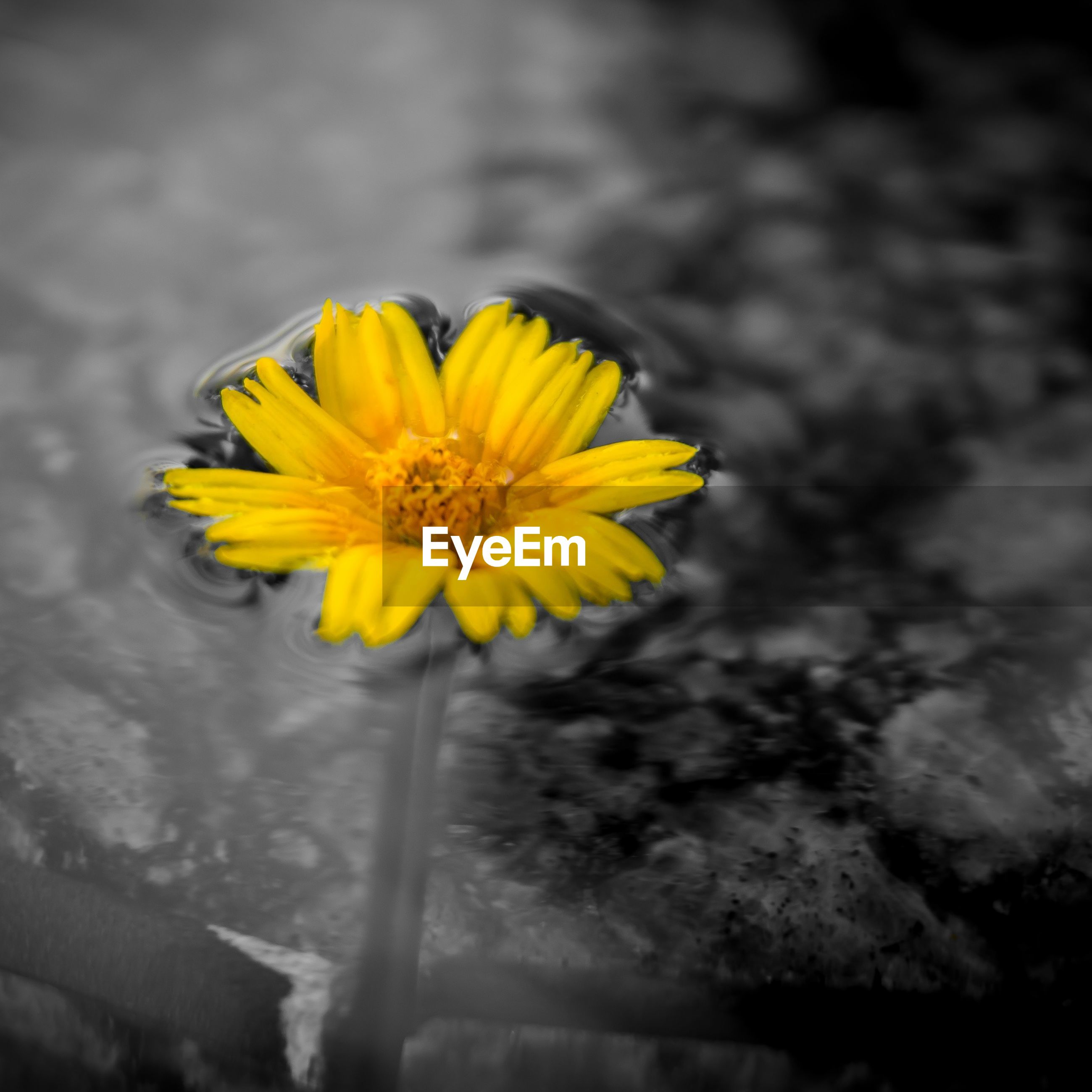 Yellow flower floating on water