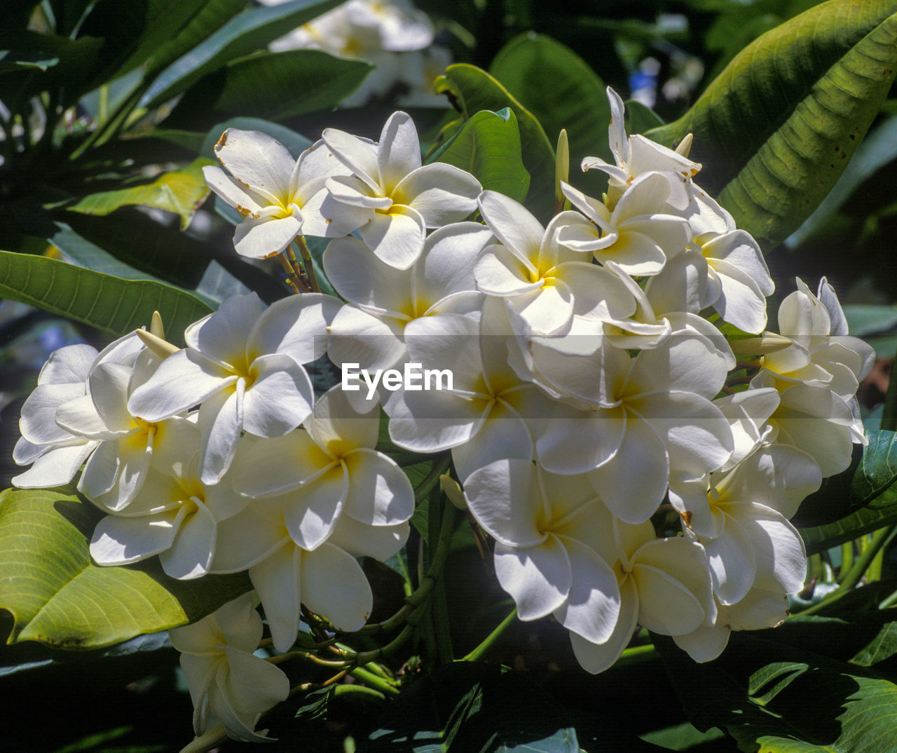 flower, petal, growth, beauty in nature, fragility, plant, nature, freshness, white color, flower head, day, blooming, leaf, outdoors, no people, close-up, frangipani