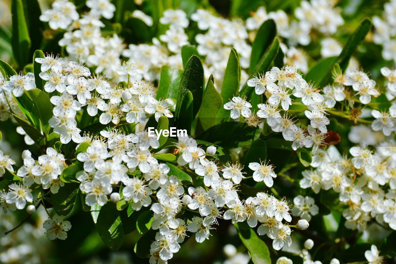 flowering plant, flower, vulnerability, plant, fragility, beauty in nature, growth, freshness, close-up, nature, petal, day, no people, green color, flower head, inflorescence, white color, focus on foreground, botany, plant part, outdoors, springtime, pollination, lilac