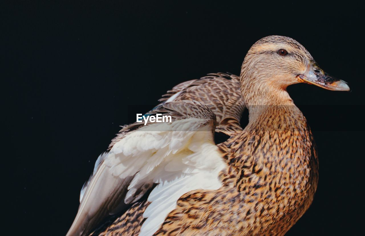animal themes, bird, animal, animal wildlife, vertebrate, animals in the wild, one animal, no people, close-up, black background, nature, studio shot, copy space, beak, outdoors, zoology, side view, poultry, duck, cut out