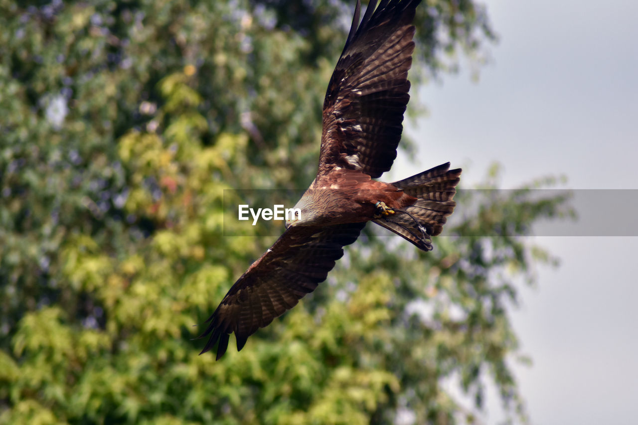 animals in the wild, animal themes, animal wildlife, animal, one animal, spread wings, bird, flying, vertebrate, low angle view, focus on foreground, mid-air, nature, tree, no people, plant, day, bird of prey, outdoors, motion, eagle