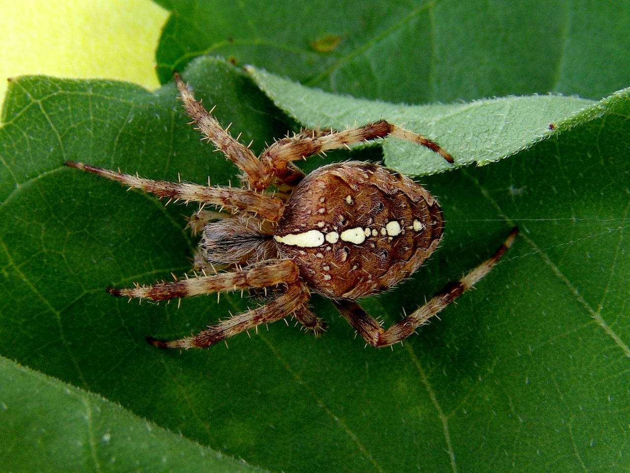 plant part, insect, leaf, invertebrate, animal, animal themes, animal wildlife, arachnid, animals in the wild, arthropod, spider, one animal, close-up, green color, nature, no people, day, outdoors, zoology, fragility, animal leg, poisonous
