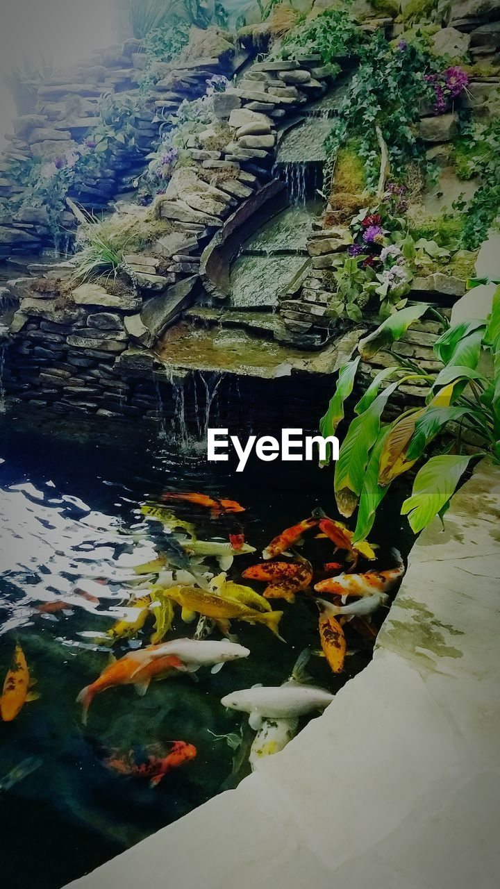 water, fish, nature, animal themes, koi carp, swimming, no people, sea life, beauty in nature, outdoors, animals in the wild, carp, underwater, day, close-up