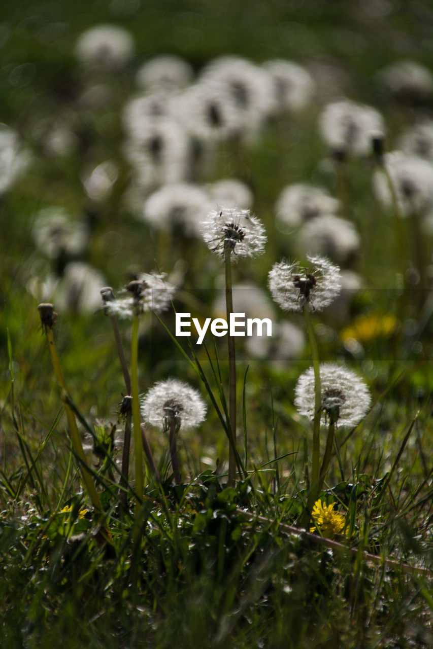 flower, plant, flowering plant, growth, fragility, beauty in nature, vulnerability, selective focus, freshness, nature, land, close-up, field, no people, flower head, day, tranquility, dandelion, green color, grass, outdoors, softness