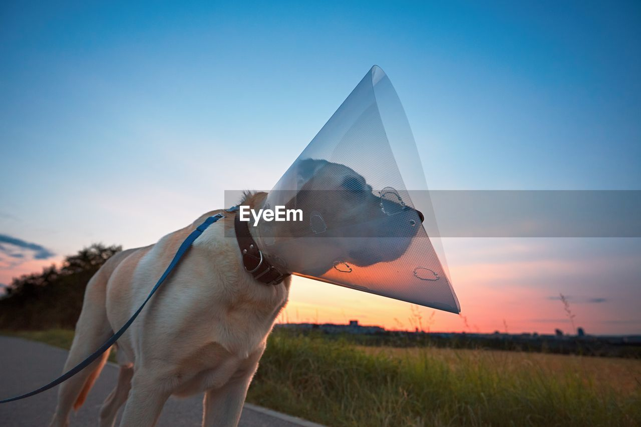 Close-Up Of Dog On Field Against Sky During Sunset