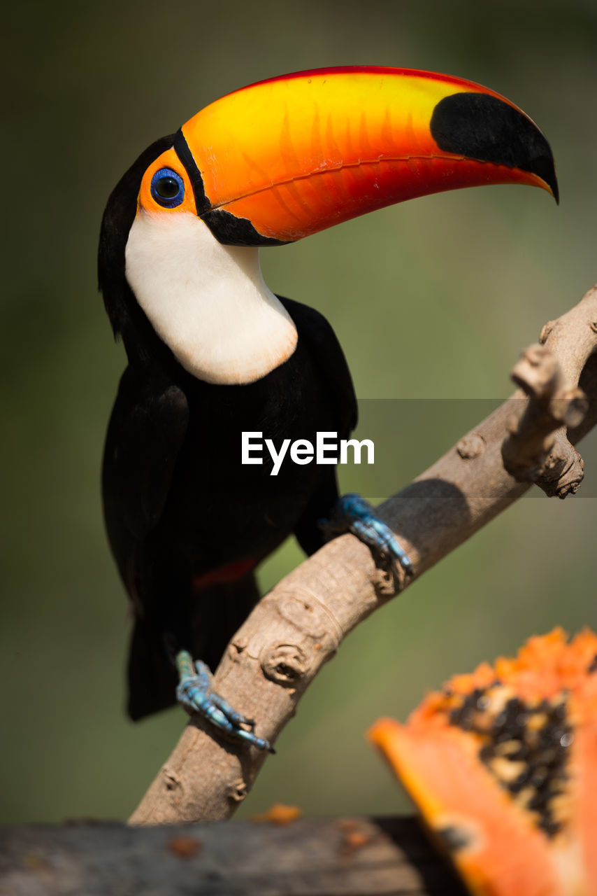 Close-Up Of Toucan Perching Outdoors