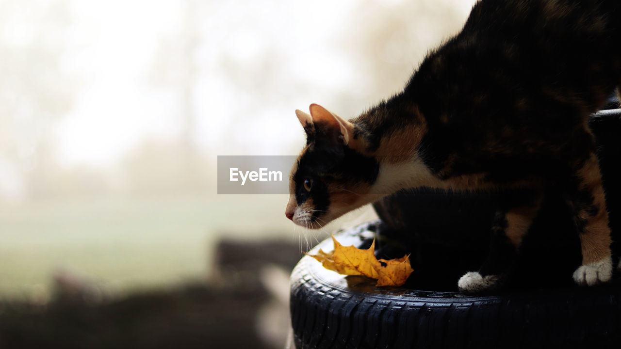 Cat looking away on tire