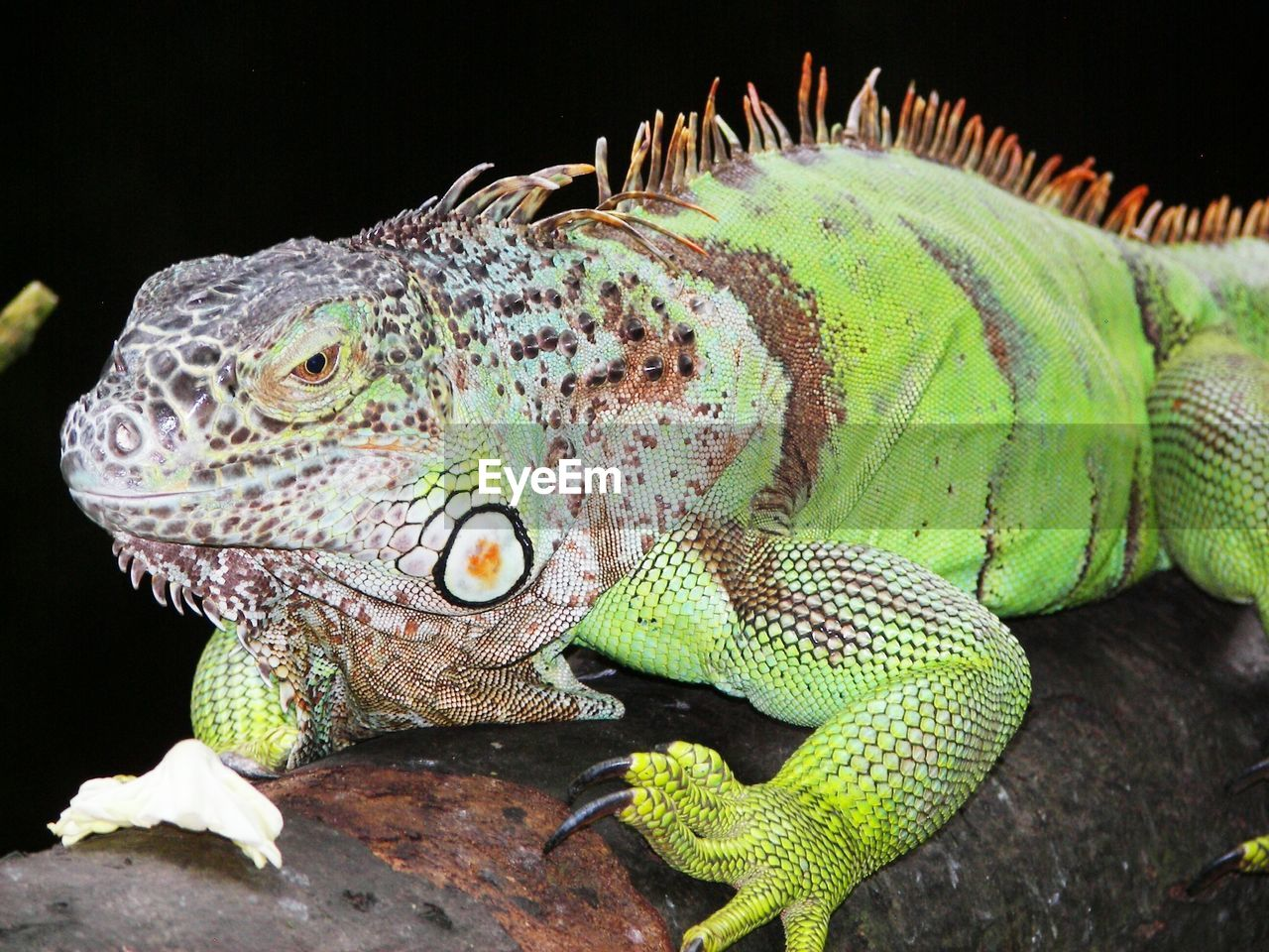 Close-up of iguana on branch at zoo
